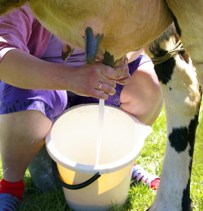 母牛挤奶 免版税库存图片