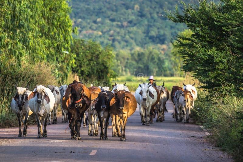 母牛有蓬卡车 免版税库存图片