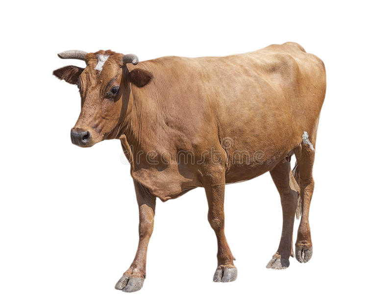 母牛查出的白色 免版税图库摄影