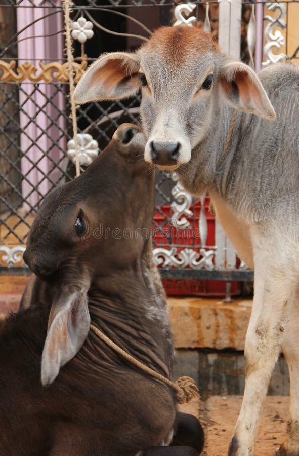 母牛漫游印度的街道 免版税库存照片