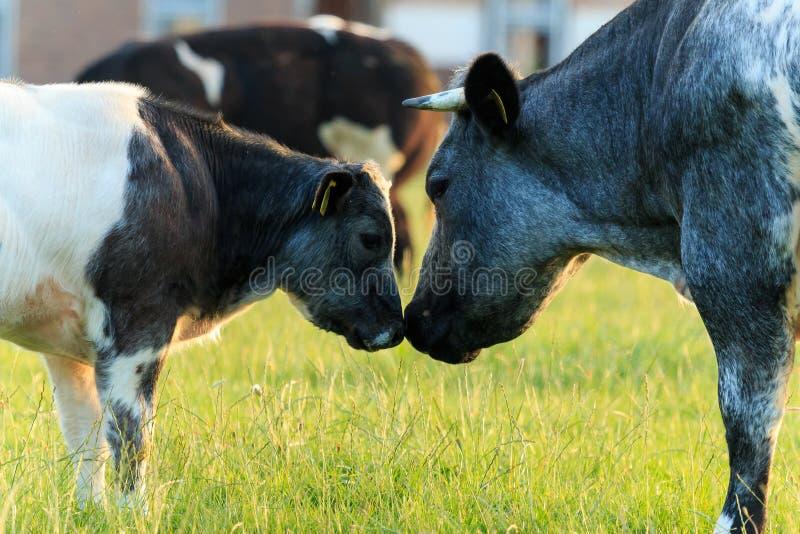 母牛照顾和幼恋,比利时蓝色母牛 库存照片