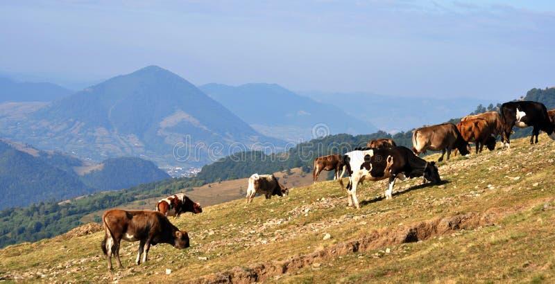 母牛牧群在喀尔巴阡山脉 免版税库存照片