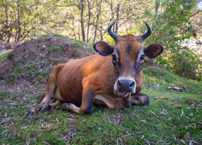动物士狗交配_图片 包括有 贝多芬, 牧人, 母牛, 痛苦, 交配动物者, 行业 - 572729
