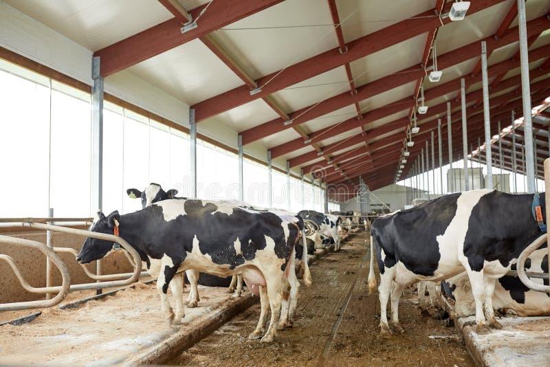 母牛牧群在奶牛场的牛棚槽枥.图片
