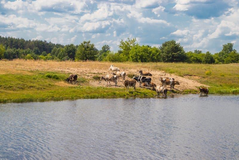 母牛牧群在浇灌的在中午熄灭干渴用水和休息 免版税库存图片