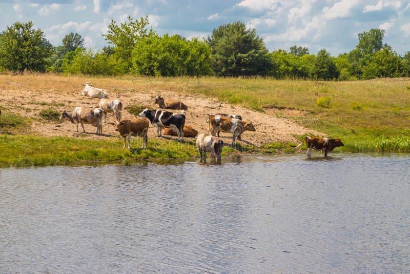 母牛牧群在浇灌的在中午熄灭干渴用水和休息 库存图片