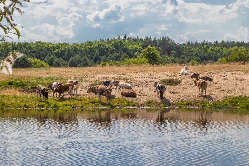 母牛牧群在浇灌的在中午熄灭干渴用水和休息 免版税库存照片