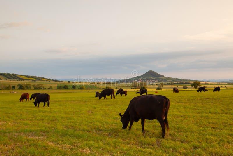 母牛牧群在牧场地中央漂泊高地的,捷克的 图库摄影