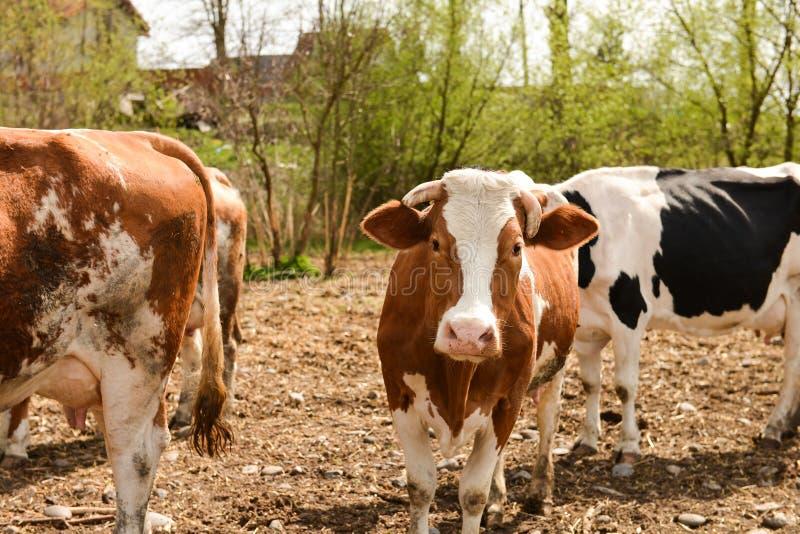 母牛牧群在牧场地的在春天 免版税库存图片