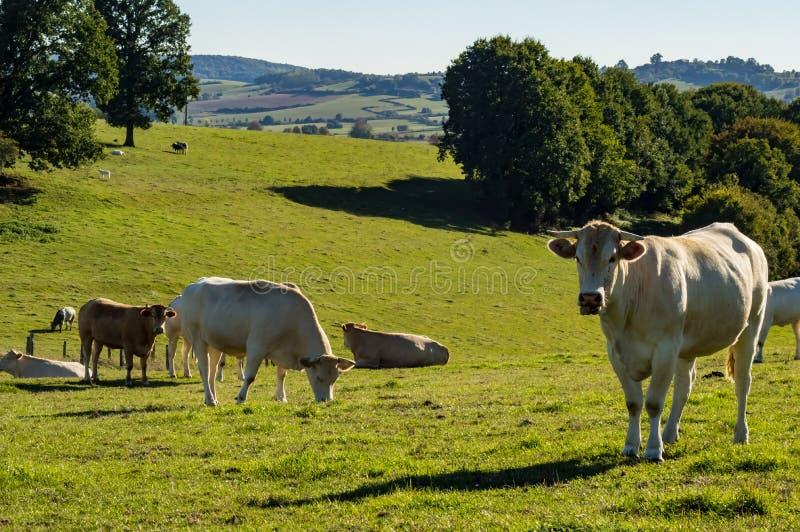 母牛牧群在草甸在Gaume 库存照片