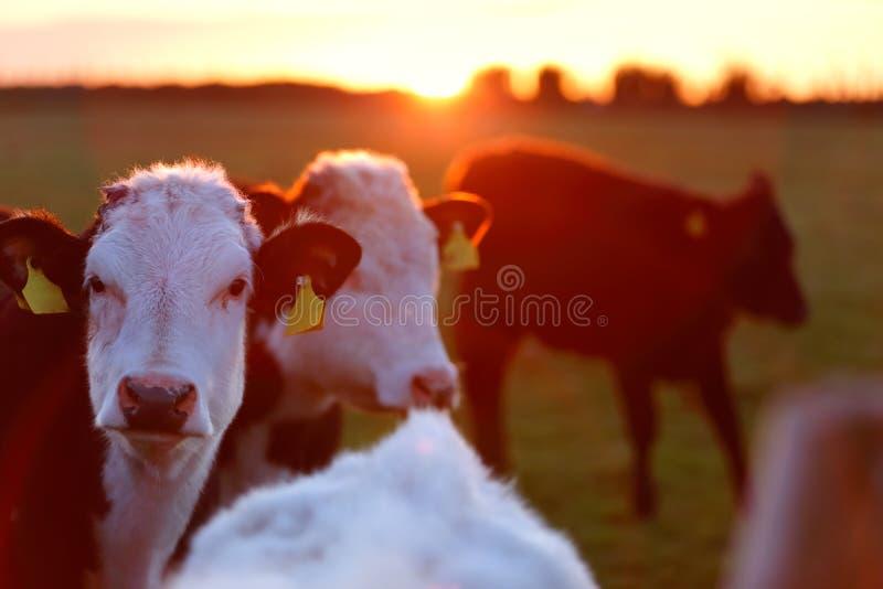 母牛牧群在草甸车道的在爱尔兰的西方 免版税图库摄影