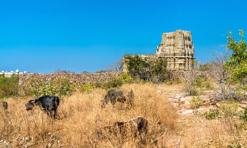 母牛牧群在Adbhutanatha寺庙的在奇陶尔加尔堡垒 Rajastan,印度 免版税库存图片