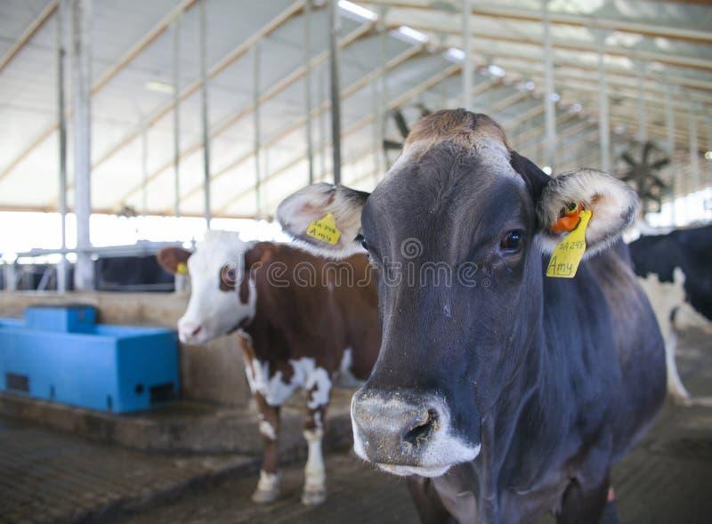 母牛特写镜头与标记的在奶牛场 免版税图库摄影
