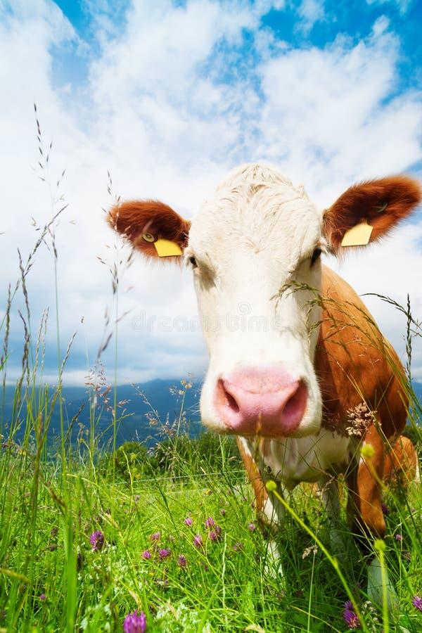 母牛的口鼻部 免版税库存照片