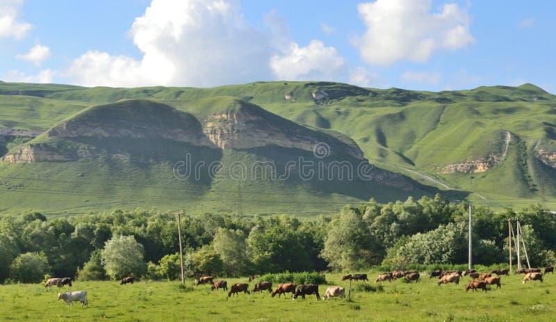 母牛的牧场地在高地 库存图片