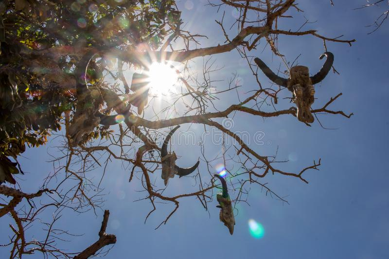 母牛的被风化的头骨在光秃的分支的与太阳光芒 垂悬在绳索的公牛头骨反对阳光 死的母牛头在树的 库存照片