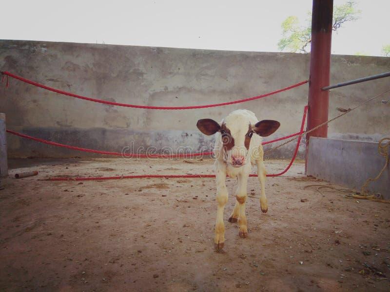 母牛美丽的动物的婴孩 库存照片