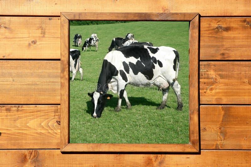 母牛草甸木视图的视窗 库存图片