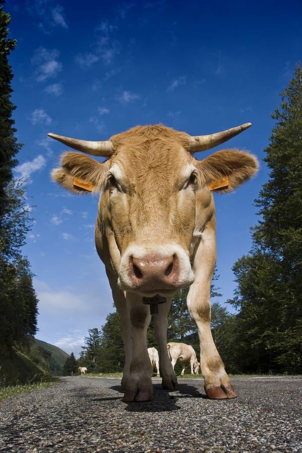 母牛路 免版税库存图片