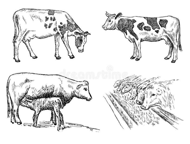 母牛集合 库存图片