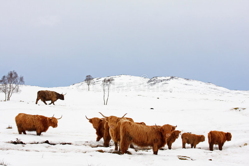 母牛高地雪 库存照片