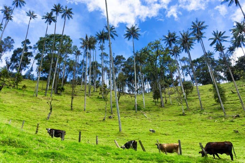母牛,蜡榈,蓝天 免版税库存图片