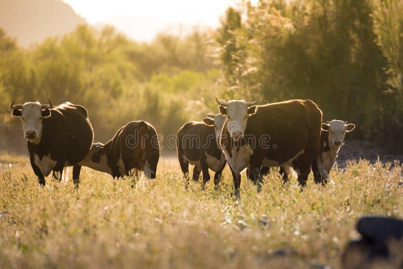 母牛&小牛牧群-自由漫游Salt河,亚利桑那 免版税库存照片