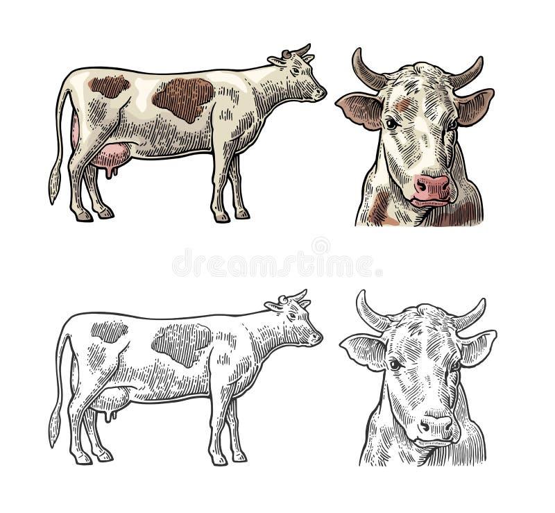 母牛 旁边和正面图 手拉在一个图表样式 葡萄酒传染媒介信息图表的,海报板刻例证 向量例证