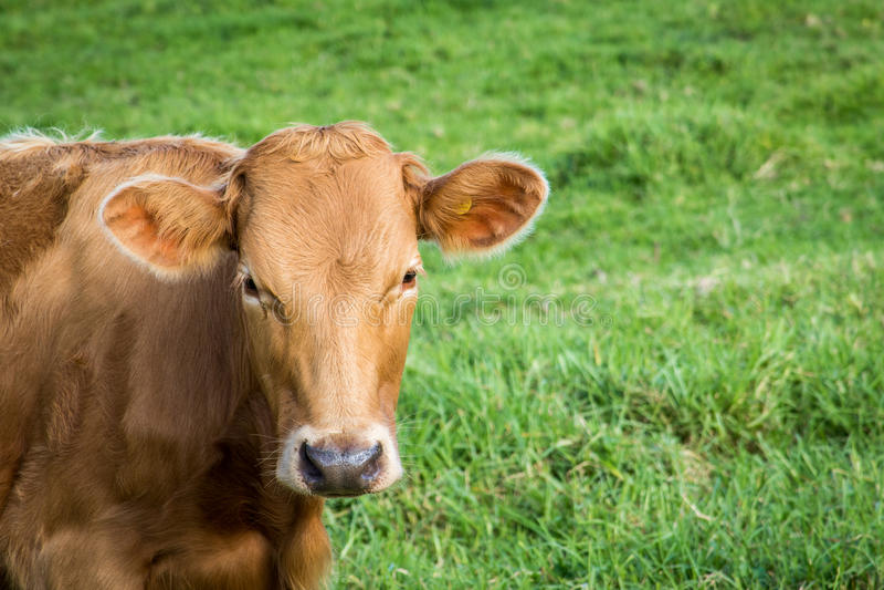 母牛绿草 库存照片