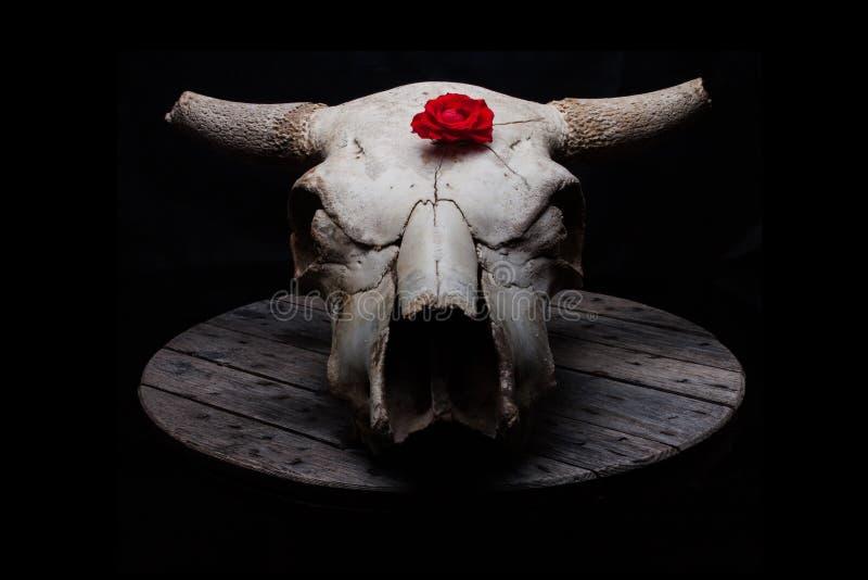母牛头骨与上升了 图库摄影