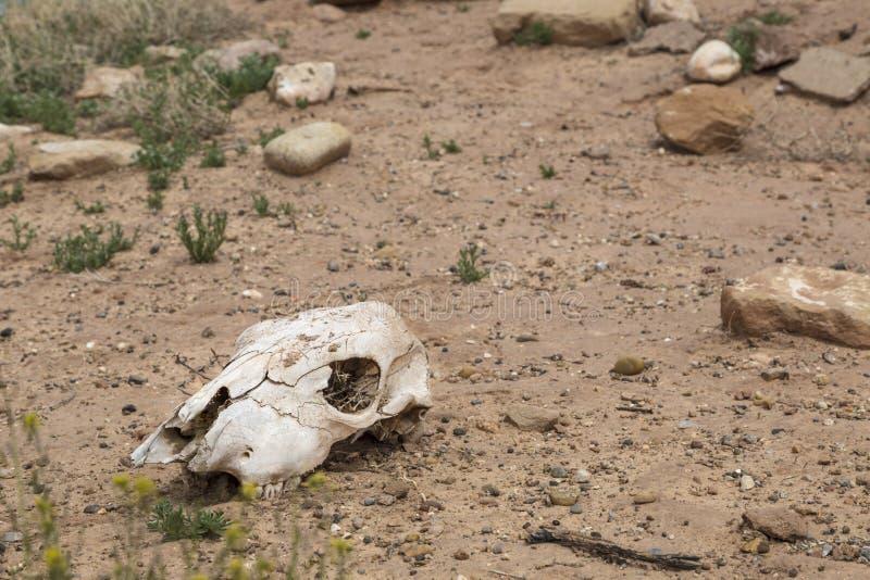 母牛头骨在沙漠 图库摄影
