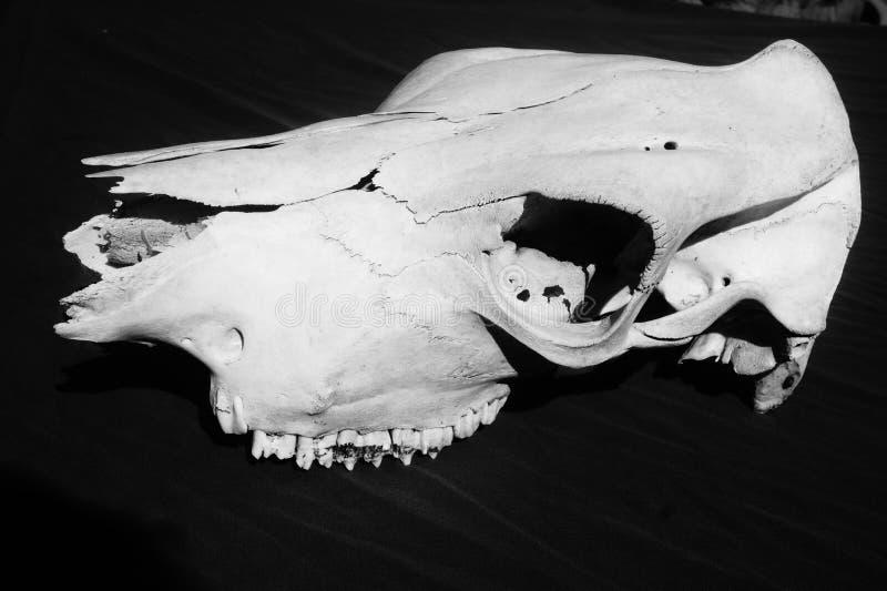 母牛头骨骨头2 库存图片