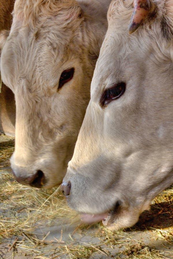 2头母牛 免版税图库摄影