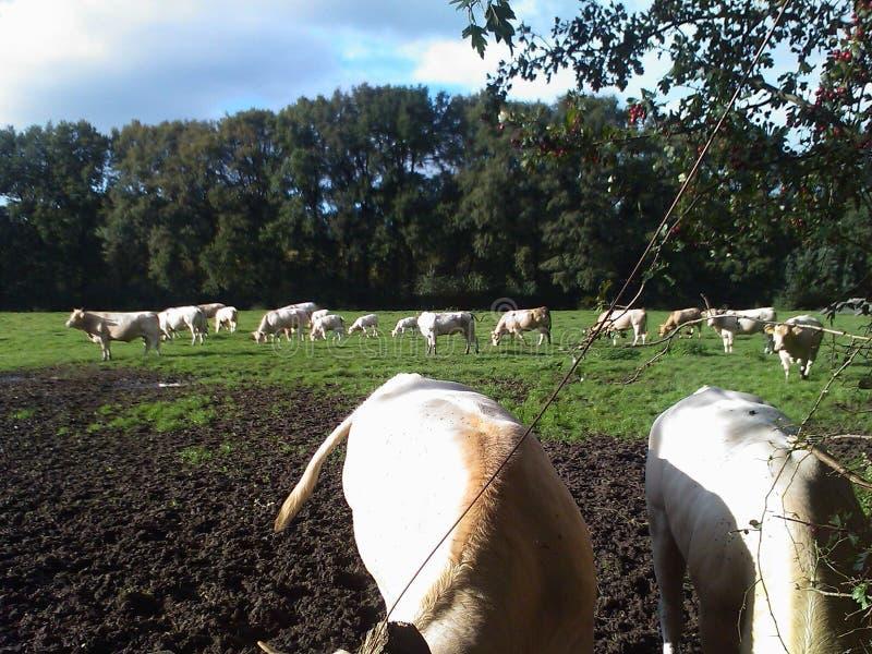 2头母牛 免版税库存照片