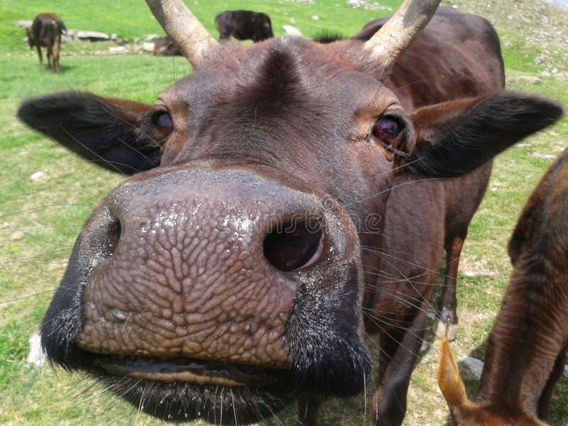 母牛` s面孔的滑稽的鼻子 免版税库存照片