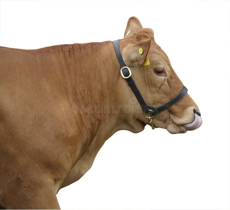 母牛gelbvieh她舔的鼻子 免版税图库摄影
