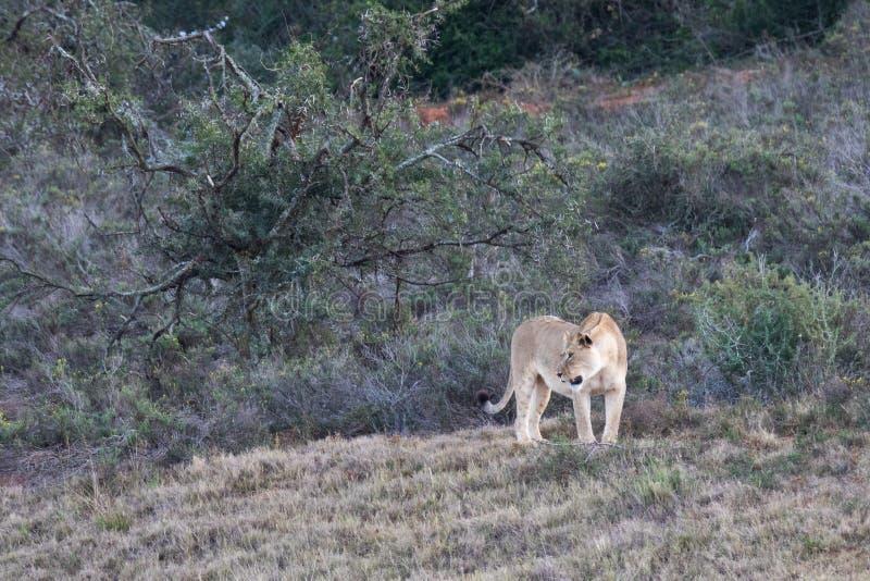 母狮子在奥尔多大象国立公园 库存照片