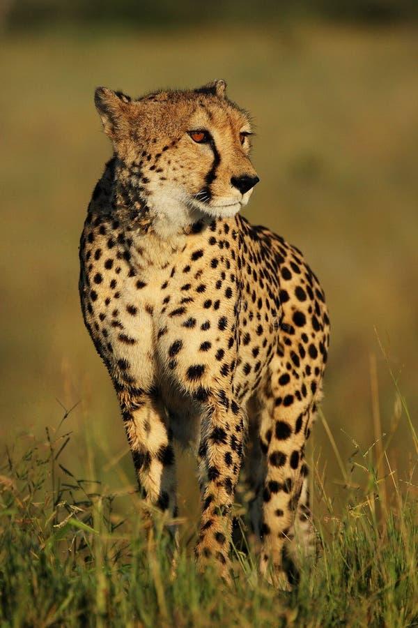 母猎豹 库存照片