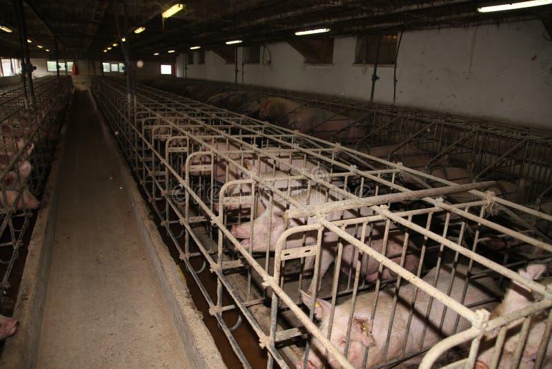 母猪在一个工业动物农场的槽枥 图库摄影