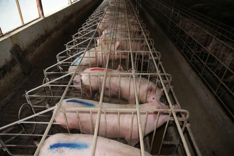 母猪在一个工业动物农场的槽枥 库存照片