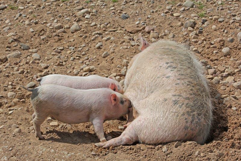 母猪牛奶喂养两头小的猪图片