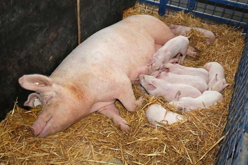 母猪用小猪 免版税库存照片