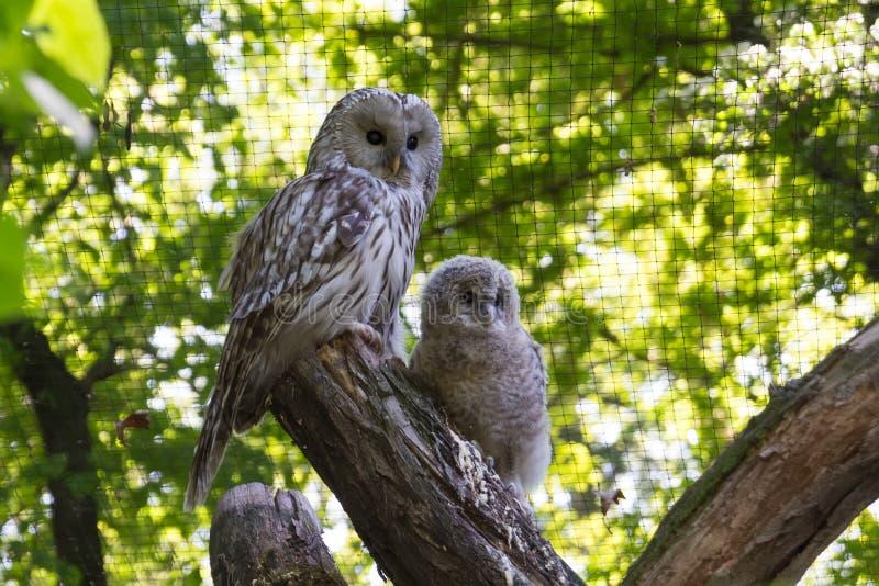 母猫头鹰和猫头鹰之子 免版税库存照片