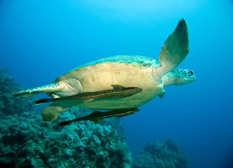 母绿海龟 免版税库存照片