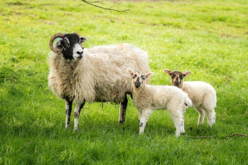 母羊产小羊孪生 免版税库存图片
