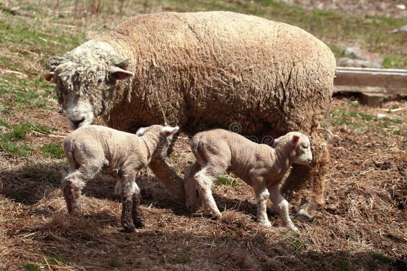 母羊产小羊绵羊 图库摄影