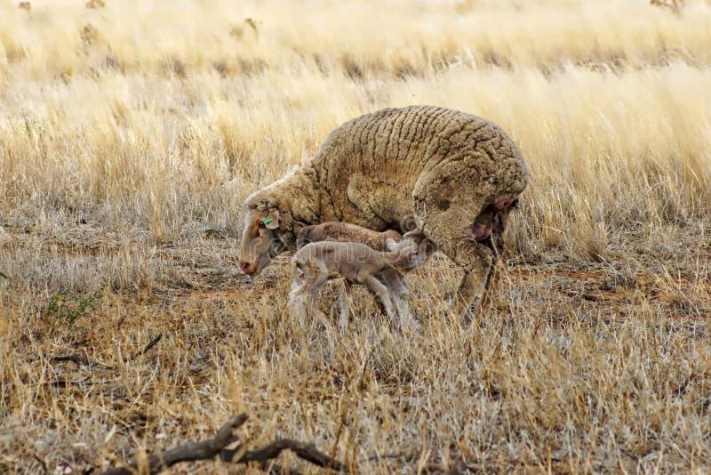 母羊和两只羊羔 免版税图库摄影