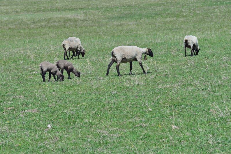 母羊和春天羊羔孪生 免版税库存图片