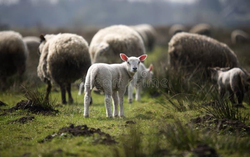 母羊 免版税图库摄影
