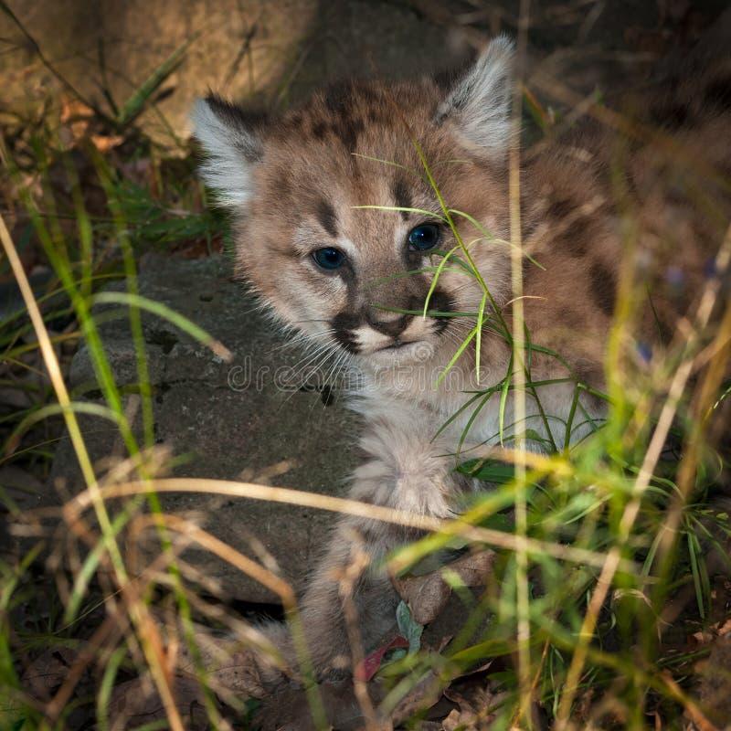 母美洲狮小猫& x28; 美洲狮concolor& x29;通过草爬行 库存图片